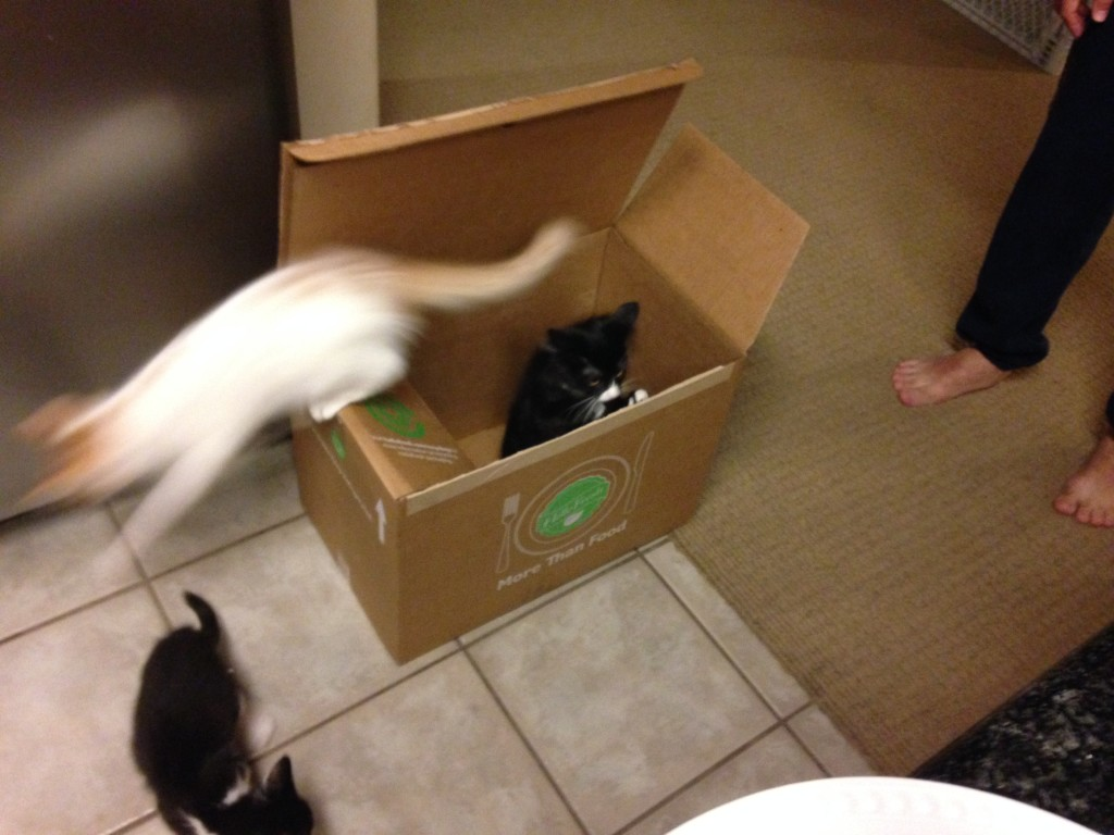 Kittens Turning the Hello Fresh Box into a Toy